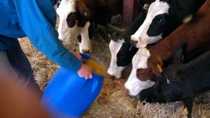 Feeding spend grains to the cows.